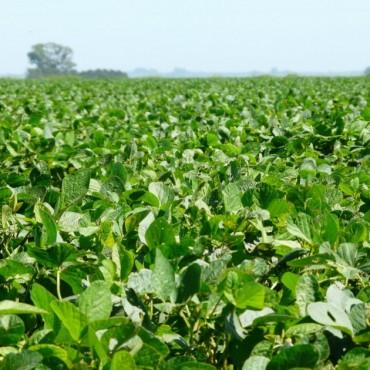La soja mantiene las altas expectativas de rendimientos