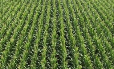 Avanza rápido la siembra de maíz