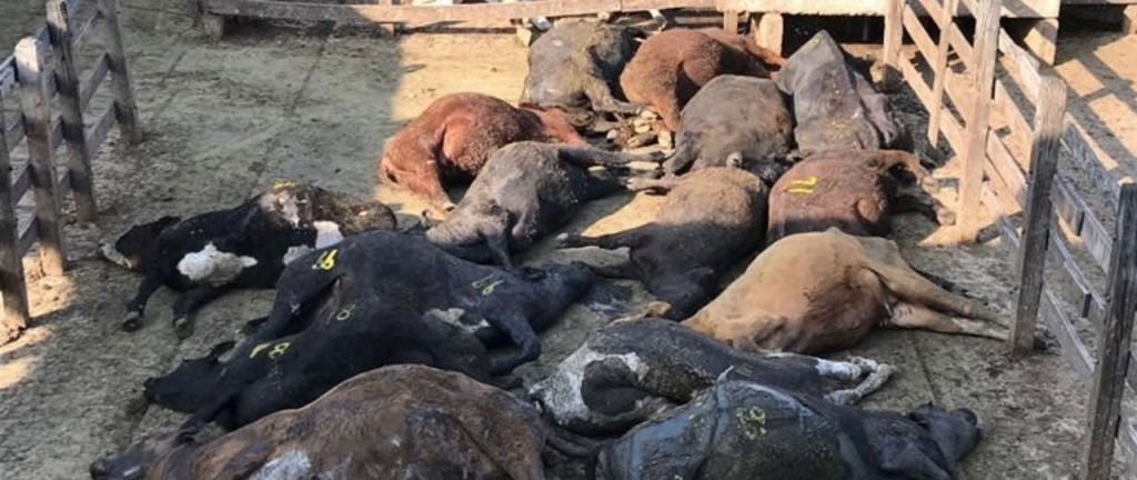 Clima sofocante: Por la ola de calor, murieron 100 animales en el Mercado de Liniers