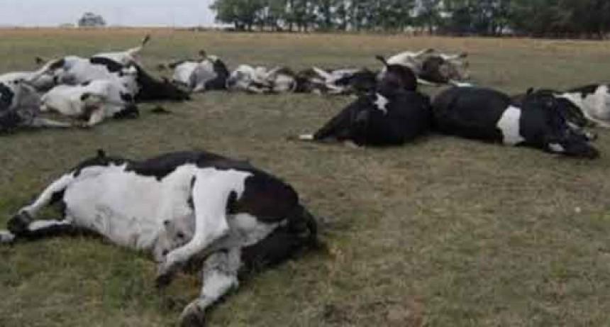"""Mueren animales por """"estrés térmico"""" en Olavarría y la región"""