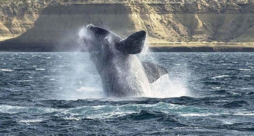 Sin turistas, las ballenas llegaron a la Península Valdés