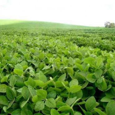 La siembra de soja también sería menor en el país