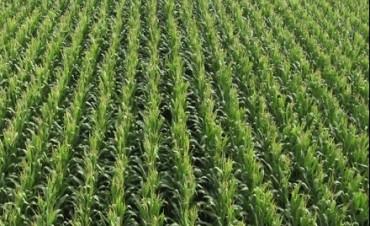 Se generalizó la siembra de maíz tardío
