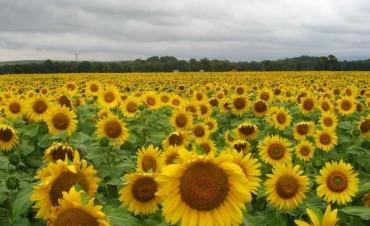 Finalizó la siembra de girasol con 1,7 millones de hectáreas