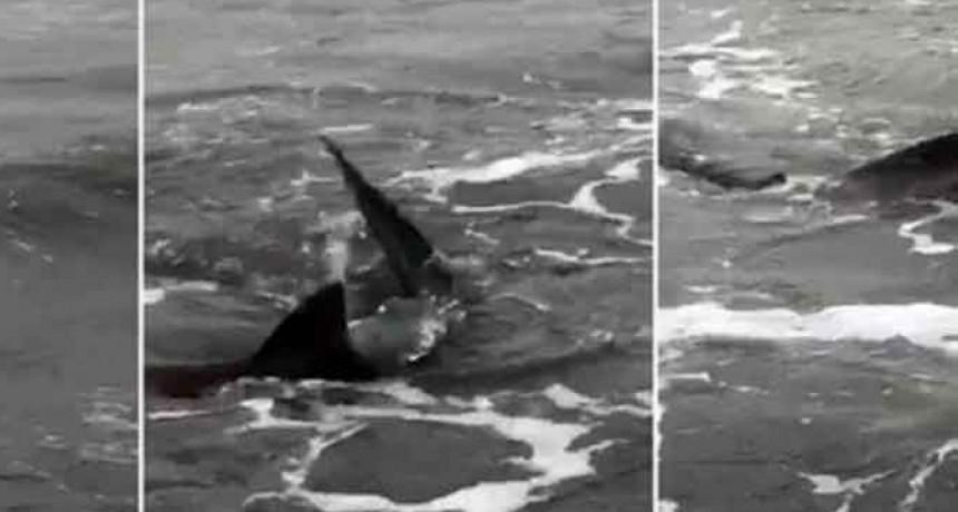 Temor en Monte Hermoso por la aparición de tiburones en la orilla